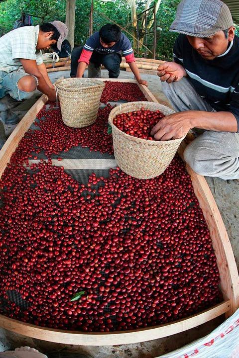 Mexikanische Bauern begutachten in Ver... per Segelschiff nach Europa gelangen.  | Foto: El Equimite
