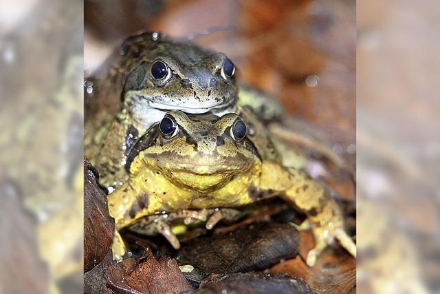 Noch immer wandern die Amphibien
