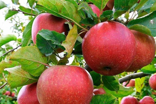 Kleine Obstbauern in der Ortenau fürchten um ihre Existenz