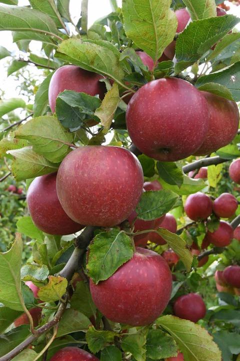 Gerade kleinere Obstbauern beklagen, d...für die Zertifizierung tragen sollen.   | Foto: dpa