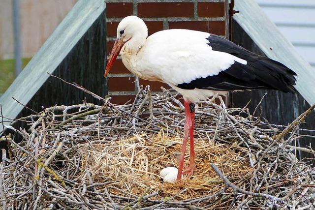Denzlinger Störche haben die ersten Eier gelegt