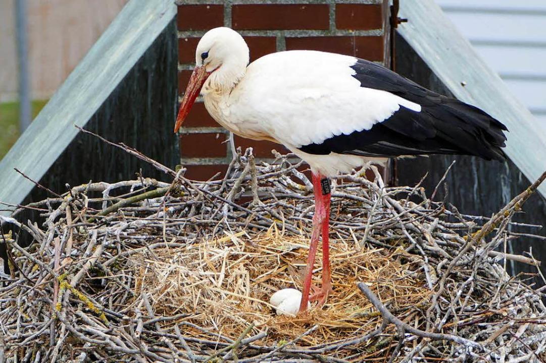 Bebrütet werden die Eier erst, wenn al...ohl vier bis fünf – gelegt sind.    Foto: Hans-Peter Rieder