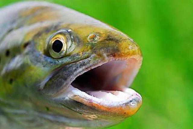Heimischer Fisch bringt ganz besonderen Genuss