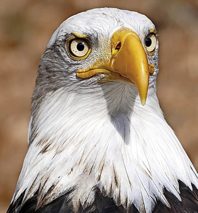 Der Weißkopfseeadler aus den USA (Foto...schauer kommen den  Vögeln ganz nah.      Foto: Silas Schwab