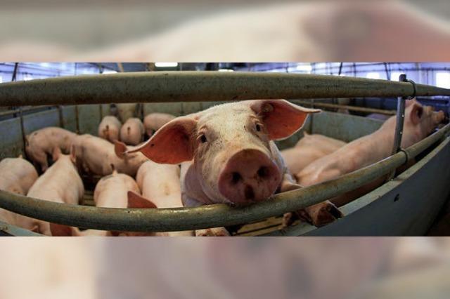 Wenig Lust auf Schwein