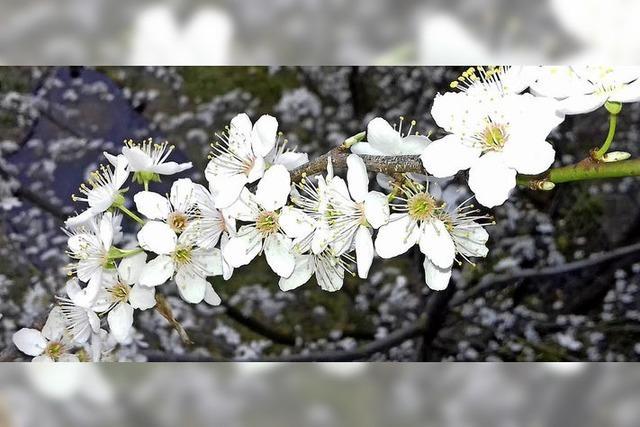 Kirschpflaumen schlagen aus