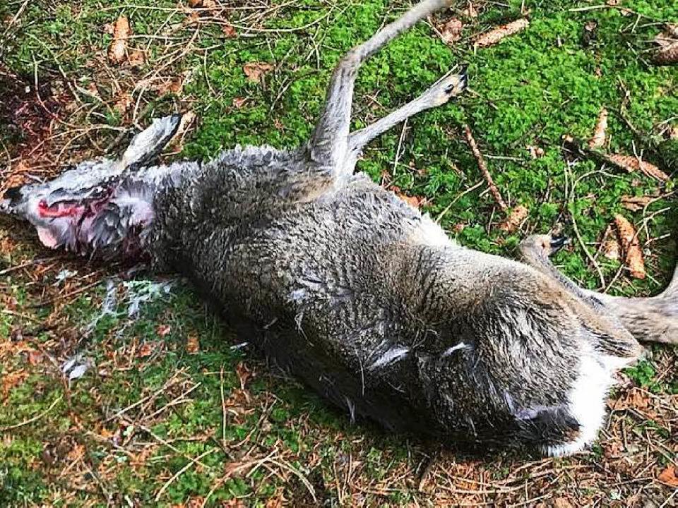 Das Reh musste mit einem Gnadenschuss getötet werden.     Foto: Schupp