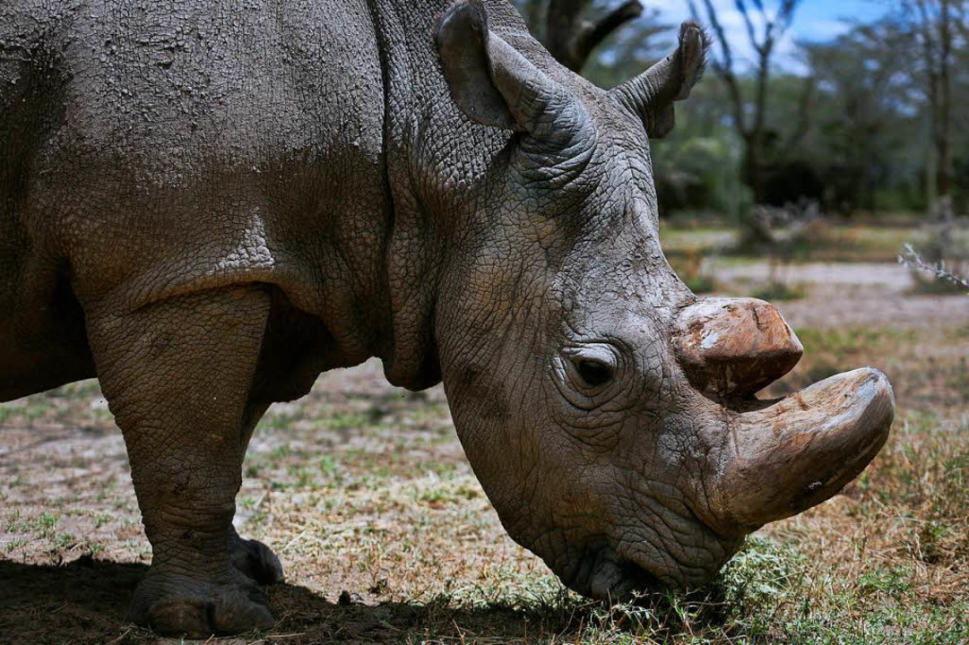 Sudan war das letzte männliche Nördlic...den Arten gelten als nicht-gefährdet.   | Foto: dpa