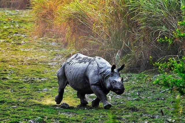Im indischen Nationalpark Kaziranga werden mehr Wilderer erschossen als Nashörner