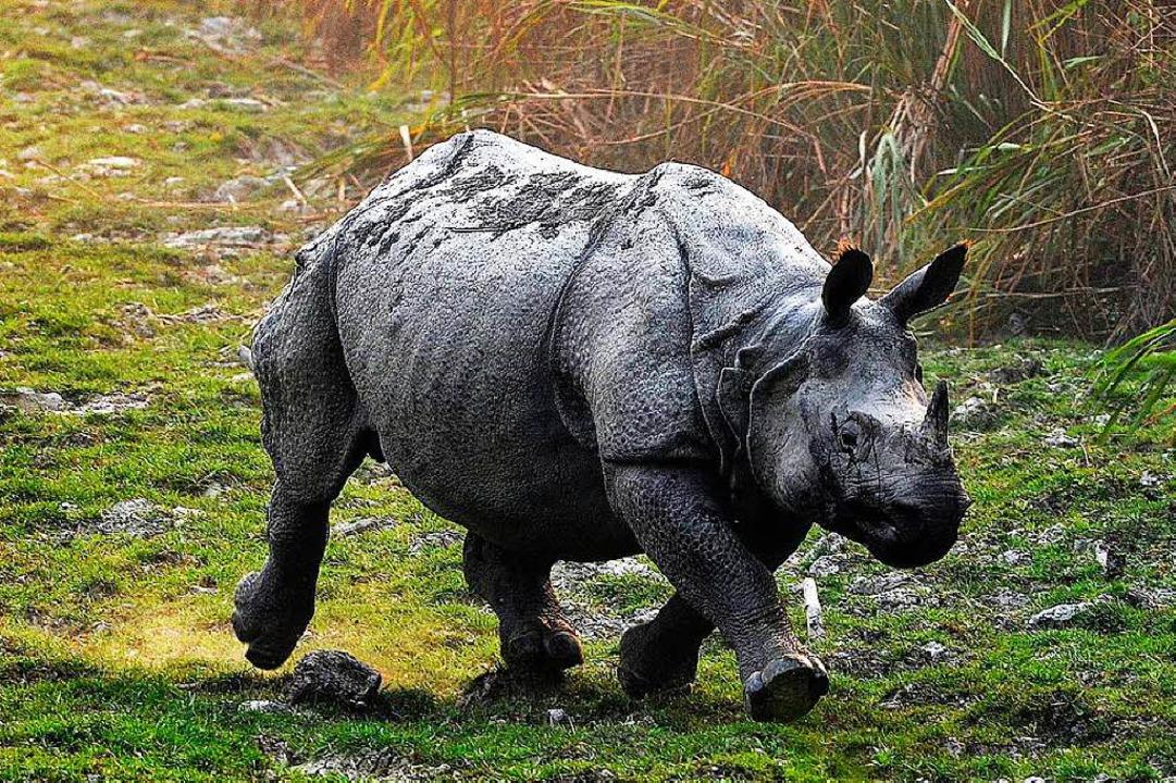 Die einhörnigen Nashörner sind bei Wilderern besonders beliebt.    Foto: dpa