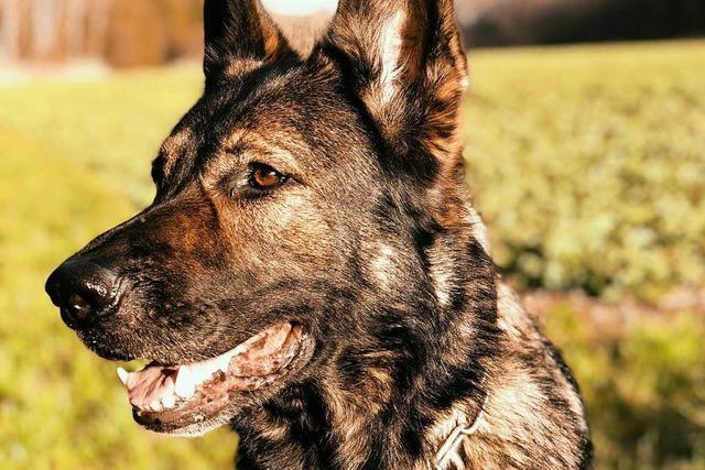 Flüchtige Einbrecher durchbrechen Nagelsperre – Polizeihunde und Helikopter im Einsatz