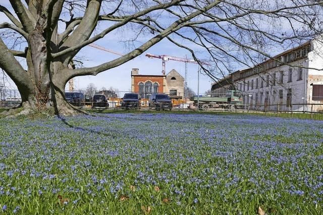 Blaues Blütenmeer an Blutbuche und Baustelle