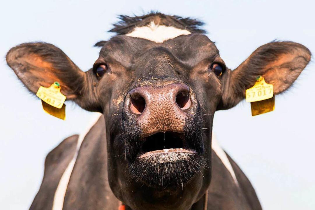 In Malaysia sollen Rinder mit Koran-Suren   beschallt werden  | Foto: dpa