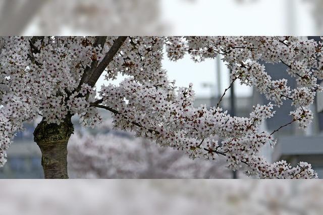 Der Frühling trägt winterliche Farben