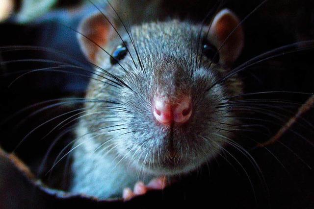 So läuft der Kampf gegen die Ratten in Weil-Friedlingen