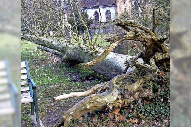 Fachmann schlägt vor, Bäume auf dem Alten Friedhof zu fällen