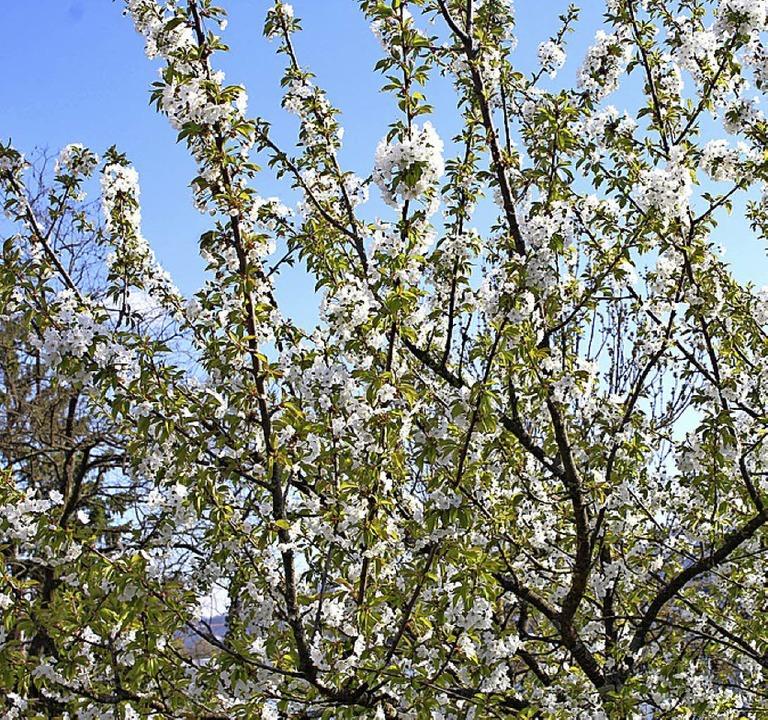 Täglich stehen mehr Obstbäume in Blüte  | Foto: Rolf Reißmann