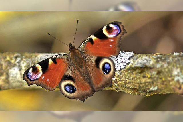 Schmetterlinge werden rar
