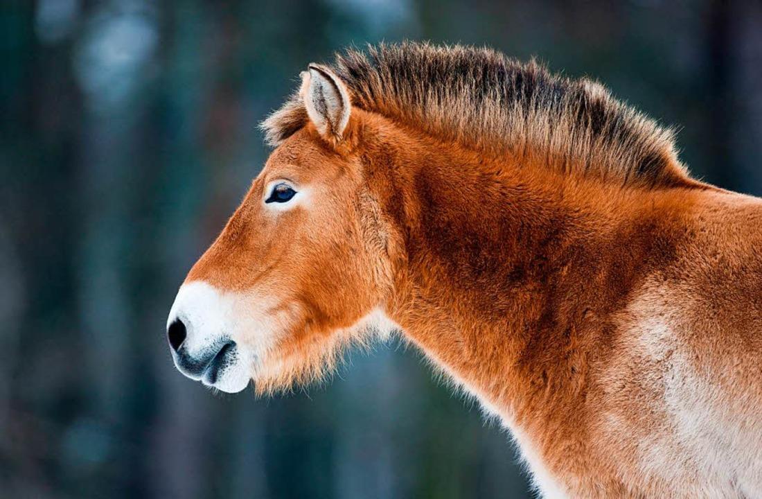 Letztes Wildpferd der Erde? Diesen Titel muss das Przewalski-Pferd nun abgeben.  | Foto: dpa