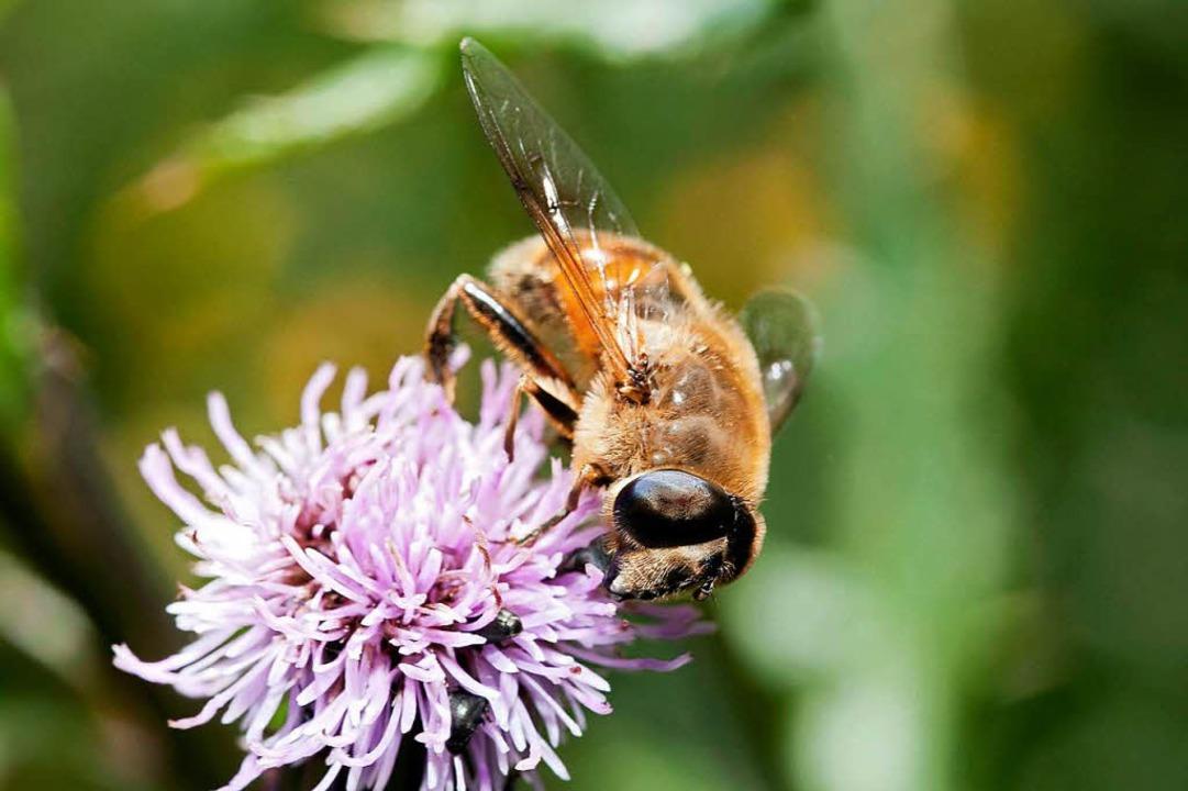 Nektartankstelle für hungrige Bienen  | Foto: Martin Egbert