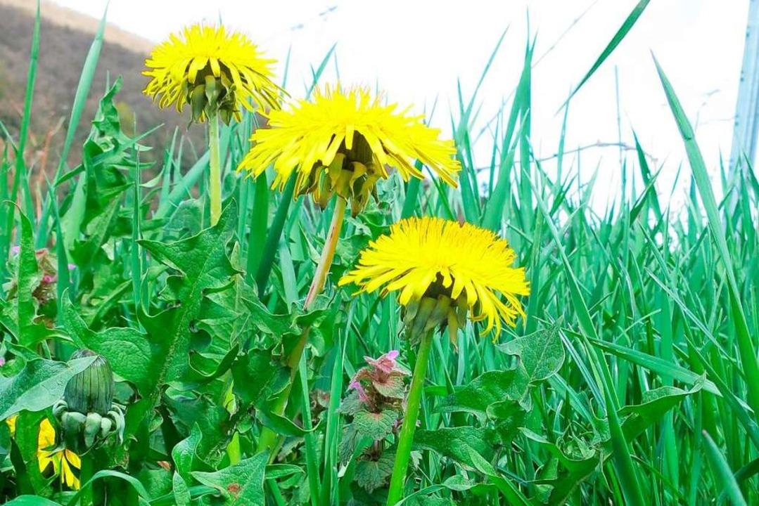 In der Blüte schön anzusehen, vor der ...kende Blätter als Salat: der Löwenzahn  | Foto: Michael Behrendt