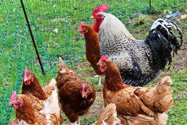 Immer mehr Haus- und Gartenbesitzer setzen auf Eier aus eigener Produktion