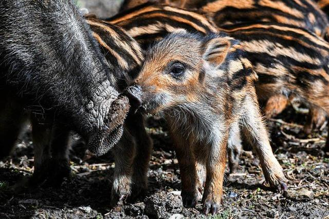 Wildschweine überqueren die Bundesstraße und verursachen Unfall