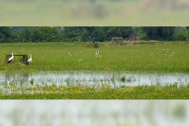 Elzwiesen sind Futterquelle und Rastplatz für Vögel