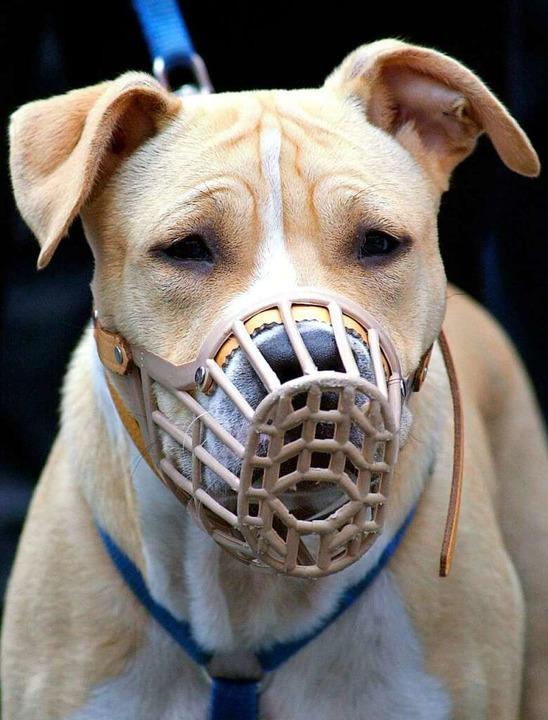 Ein Kampfhund wie dieser American Staffordshire Terrier braucht einen Maulkorb.    Foto:  DPA Deutsche Presse-Agentur GmbH