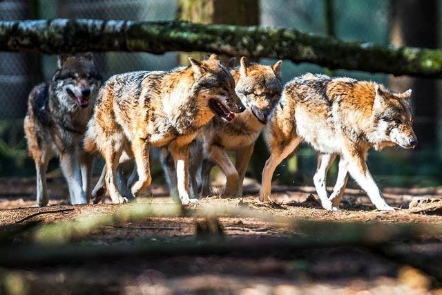 Keine Mitgliedsbeiträge als Kopfgeld für den Wolf-Wilderer
