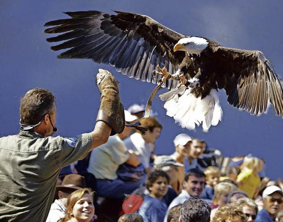 Beeindruckende Greifvogel-Flugshow    Foto: Vogelpark Steinen
