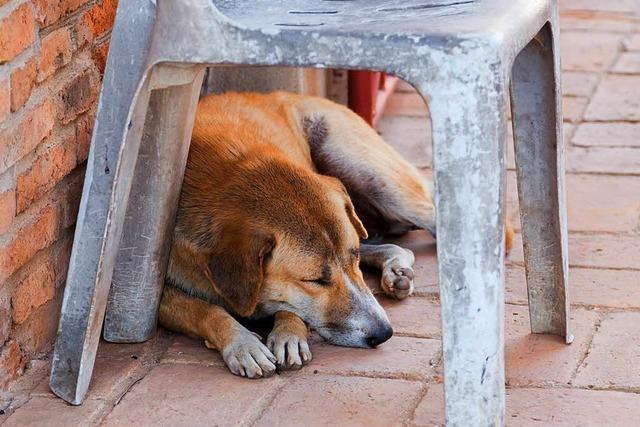 Fangen, sterilisieren, einschläfern – Russlands Jagd auf Straßenhunde