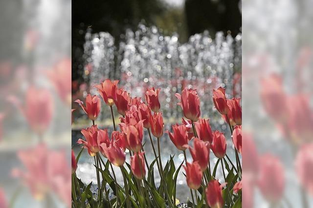 Der Lahrer Stadtpark im Zeichen des Tulpenfests