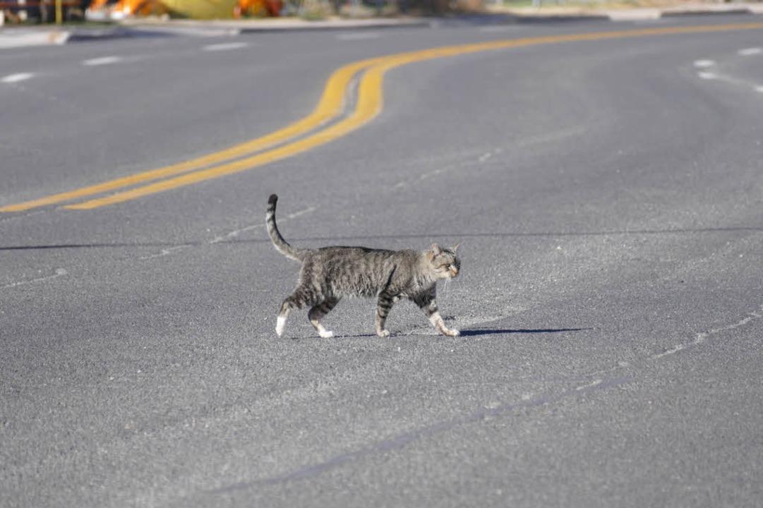 Kaum Verkehr: Eine Katze überquert gemütlich  die Route 66.  | Foto: Birgit Herrmann