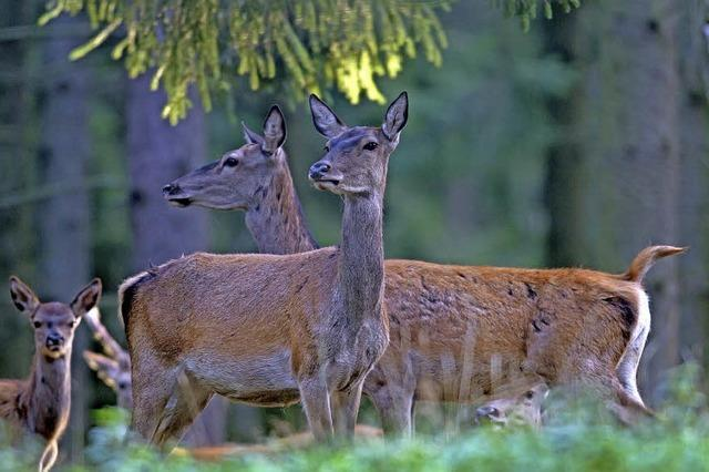 Abendliche Wildbeobachtung mit Achim Schlosser am Schluchsee