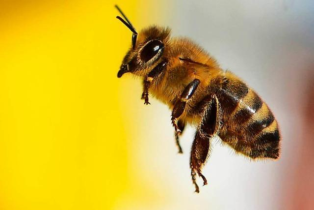 Insektensterben: Welchen Nutzen Wildbienen haben