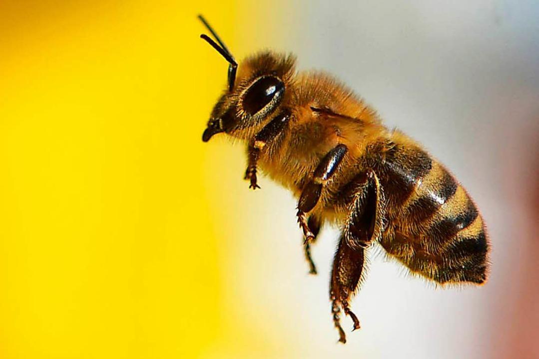 Wildbiene im Anflug  | Foto: dpa