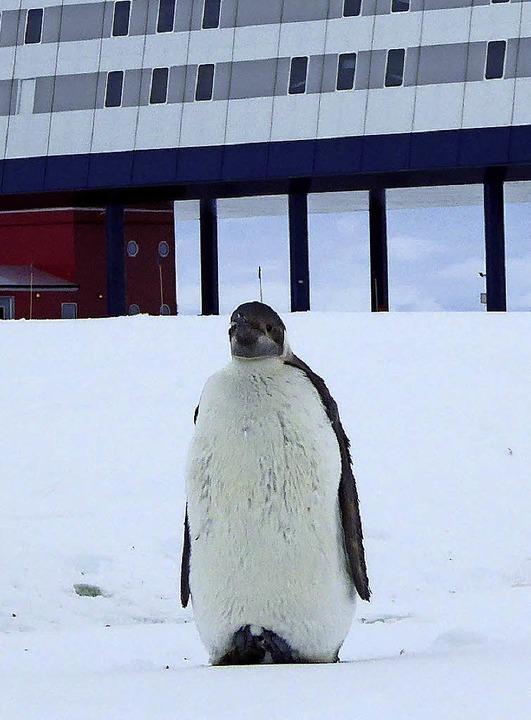 Pinguin vor Neumayer Station III    Foto: Felix Riess