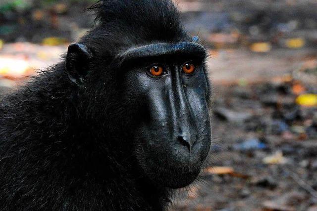US-Gericht urteilt zum Affen-Selfie - und kritisiert Peta