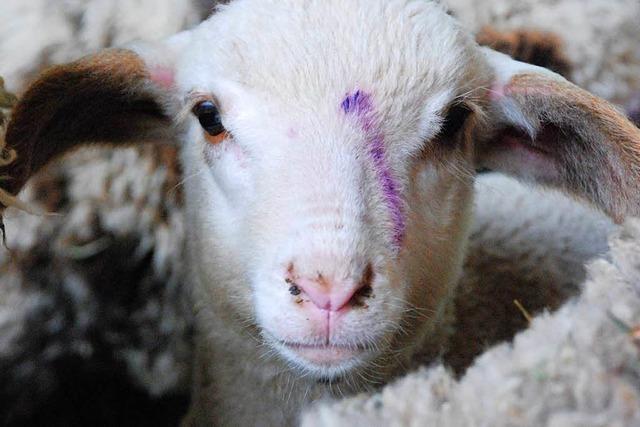 Entlaufene Schafe in Lörrach büxen auch den Polizisten aus