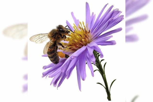 Brüssel verbietet drei Insektengifte auf den Äckern