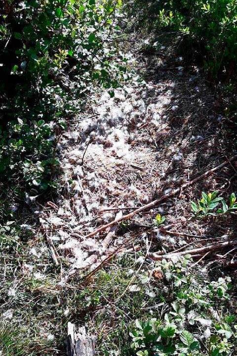 Das zerstörte Schwanennest.   | Foto: Privat