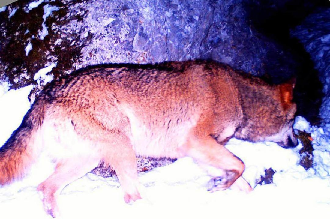 Der bislang letzte in Baden-Württember...t von einer Wildtierkamera im Februar.  | Foto: dpa
