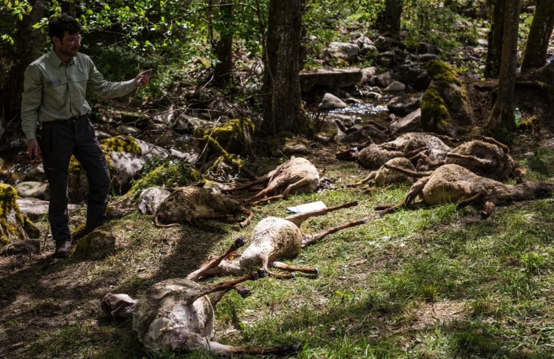 Zahlreiche tote Schafe werden von Vert...ch für die toten Tiere verantwortlich.  | Foto: dpa