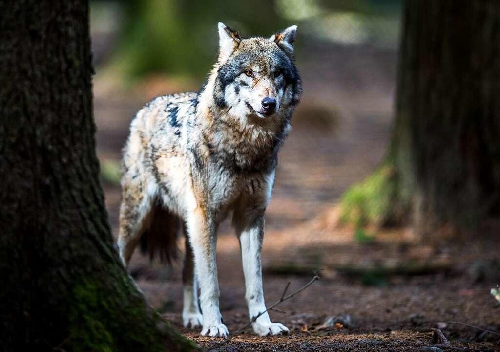 Dieser Wolf lebt nicht in freier Wildbahn, sondern in einem Wildpark in Bayern.  | Foto: dpa