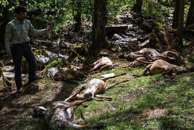 Schäfer fordert mehr Hilfe nach mutmaßlicher Wolf-Attacke in Bad Wildbad