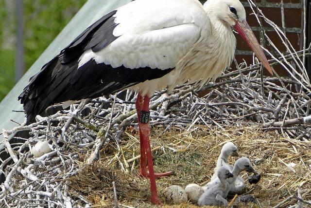 Erster Storchennachwuchs in Denzlingen ist da