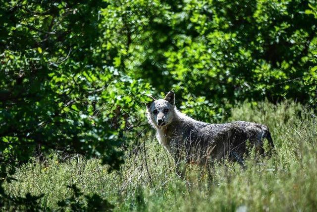 Dieses Jahr 300 angebliche Wolfsichtungen: Freiburger Institut kommt kaum hinterher