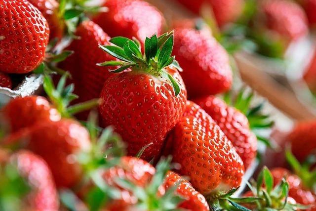 Gute Ernte: Aussicht auf viele Erdbeeren im Südwesten