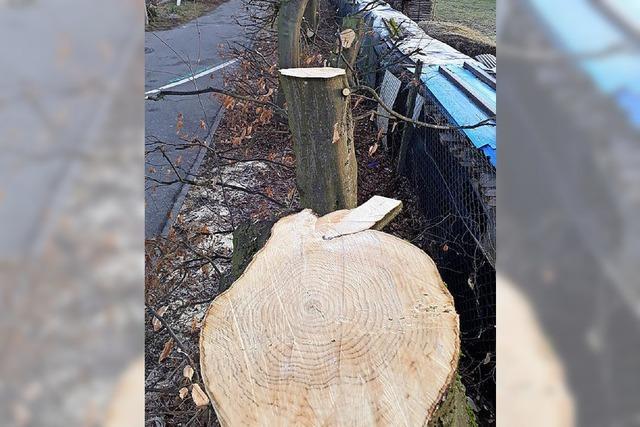 Gemeinderat bestimmt künftige Form des Baumschutzes